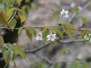 Clove cherry / チョウジザクラ 花の様子