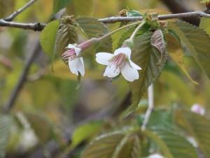 Clove cherry / チョウジザクラ