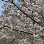 Cherry var. Kochino higanzakura/ コシノヒガンザクラ 花の咲いている様子