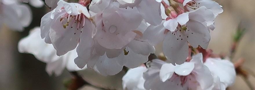 Cherry var. Kochino higanzakura/ コシノヒガンザクラ