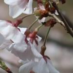 Cherry var. Kochino higanzakura/ コシノヒガンザクラ 花の姿 横と後