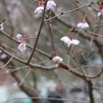 Cherry var. Hoshizakura / ホシザクラ 花の咲いている様子