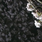 Cherry var. Someiyochino ソメイヨシノ 水面に映る夜のソメイヨシノ