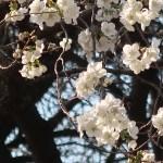 Cherry var. Shirayuki/ シラユキ 花の咲いている様子