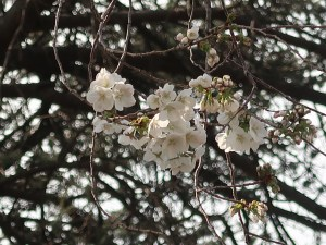 Cherry var. Shirayuki/ シラユキ 花の様子