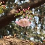 Cherry var. Ichiyou/ イチヨウ 花の咲いている様子