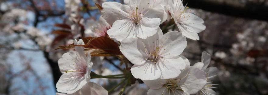 Cherry var. Koshioyama/ コシオヤマ