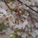 Cherry variety America/ アメリカ 花の様子