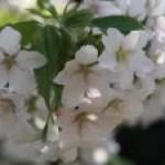 Cerasus speciosa/ Cherry var. Oshima/ オオシマ 大島桜
