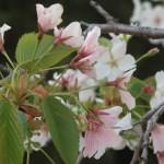 Cherry var. Oshima/ オオシマザクラ 花の様子