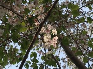 Cherry var. Izu yoshino/ イズヨシノ