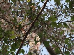 Cherry var. Izu yoshino/ イズヨシノ 花の様子