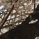 Cherry var. Izu yoshino/ イズヨシノ 花の咲いている姿