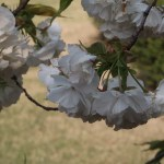 Cherry var. Shirotae/ シロタエ 花の姿