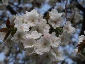 Cherry var. Taihaku/ タイハク