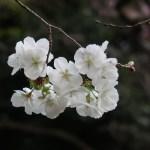 Cherry var. Shirayuki/ シラユキ 花の姿