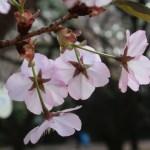 Cherry var. Chousiuhizakura/チョウシュウヒザクラ 花の姿 後ろ側