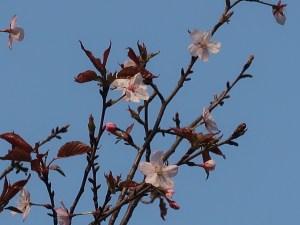 Sargent's cherry/ オオヤマザクラ 花の咲いている様子