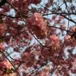 Cherry var. matsumae hayazaki/ マツマエハヤザキ 松前早咲 花の様子
