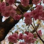 Cherry var. Beni-yutaka/ ベニユタカ