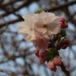 Cherry var. Fukurokujyu/ フクロクジュ