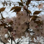 Koshioyama/ コシオヤマ 花の様子