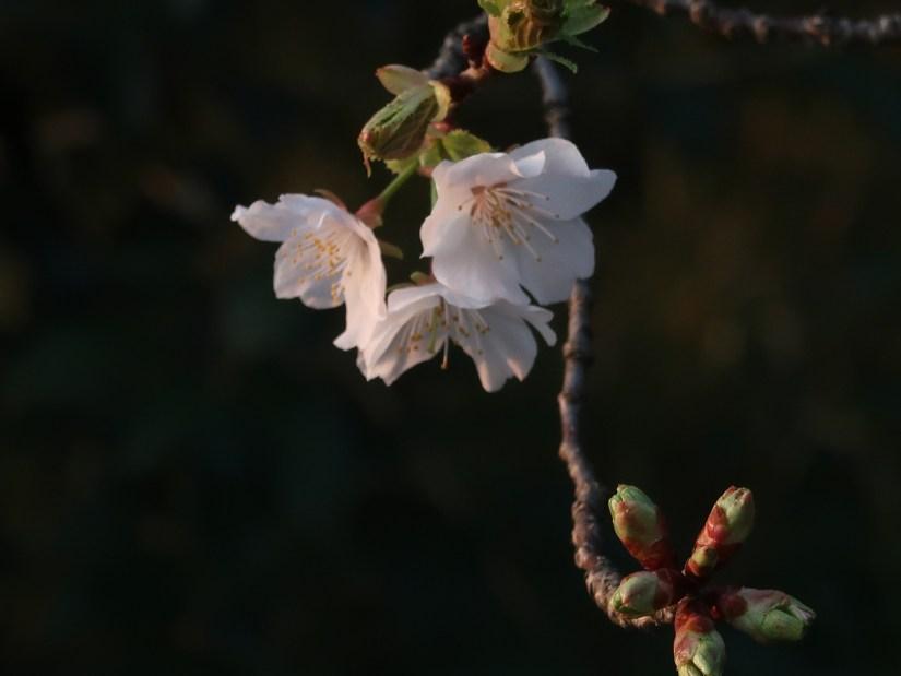 Cherry Kasumizakura/ カスミザクラ