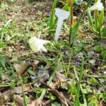 White Hoop-Petticoat/ カンタブリカス スイセン 花の様子