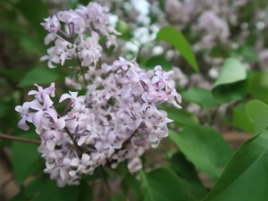 Early blooming lilac/ オニハシドイ