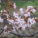 Kurile cherry / チシマザクラ 花と葉の様子