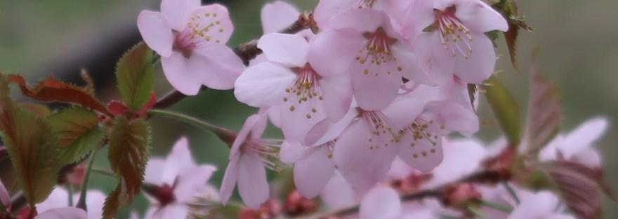 Kurile cherry / チシマザクラ