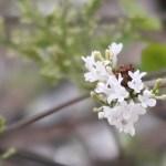 Lilac/ ライラック 咲き始めの花の様子(白花)