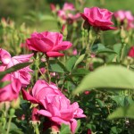 China rose/ コウシンバラ 原種交雑種 花の咲いている様子
