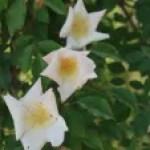 Rosa gigantea/ ロサ・ギガンティア