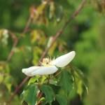 Rosa gigantea/ ロサ・ギガンティア 花の姿