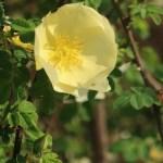 Manchu rose/ キバナハマナス 花の様子