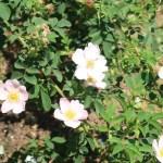 Dog rose/ イヌバラ ロサ・カニーナ 花の咲いている様子