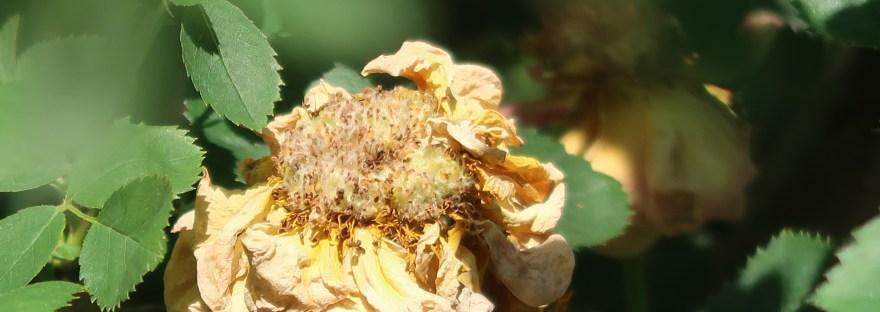 Persian yellow rose/ ロサ・フェティダ