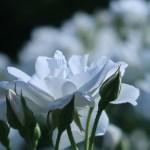 Iceberg/ アイスバーグ 花の姿