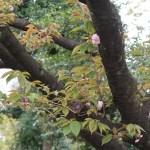 Cherry var. Kirin/ キリン 咲き始めの木の様子