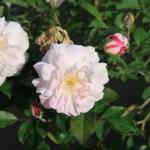 Rosa Chinensis alba/ ロサ・キセンシス・アルバ
