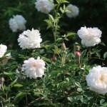 Rosa Chinensis alba/ Rosa Chinensis alba/ ロサ・キネンシス・アルバ 花の様子