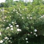 Rosa Chinensis alba/ Rosa Chinensis alba/ ロサ・キネンシス・アルバ花の様子