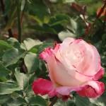 Modern garden rose/ Sanka 賛歌 花の姿