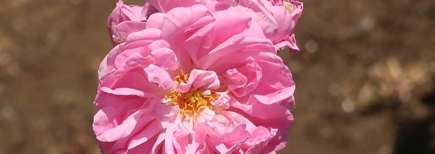 Old garden rose/ York and Lancaster ヨーク・アンド・ランカスター