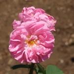 Old rose/ Damask Rose/ ダマスクスローズ 花の様子