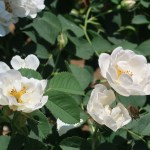 Old garden rose/ Alba Semi-plena アルバ セミプレナ 花の様子