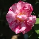 Old rose/ Rosa Gallica versicolor ロサ・ガリカ・ウェルシコロル
