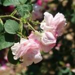 Old rose/ Rosa centifolia varegata ロサ・ケンティフォリア・ワリエガータ 花の姿
