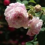 Old rose/Rosa centifolia varegata ロサ・ケンティフォリア・ワリエガータ 花の姿